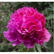 Глоуинг Распберри Роуз (Glowing Raspberry Rose)