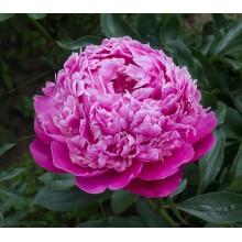 Пинк Дерби (Pink Derby) № 216