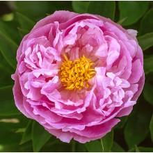 Экстра Cвит Пинк (Extra Sweet Pink) № 332