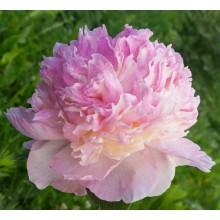 Роспберри Сандей (Raspberry Sundae) № 229