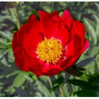 Скарлет Тенеджейр (Scarlet Tanager) № 255
