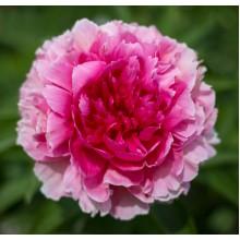 Роуз Херт (Rose Heart) № 229