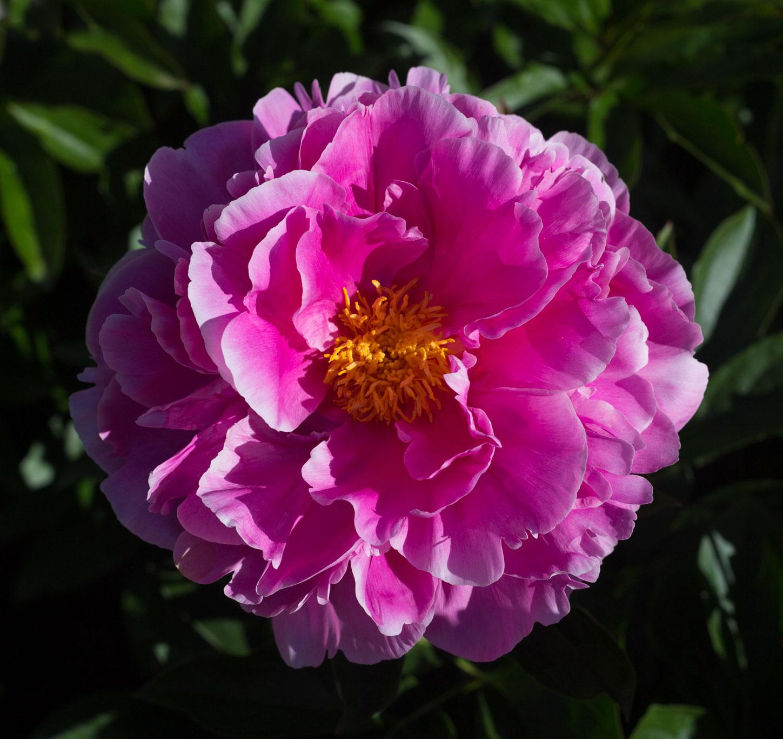 Цветение  пиона Розелла (Rosella)